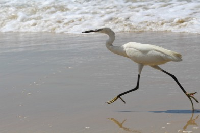 Little_egret_at_Varkala_beach_11.jpg
