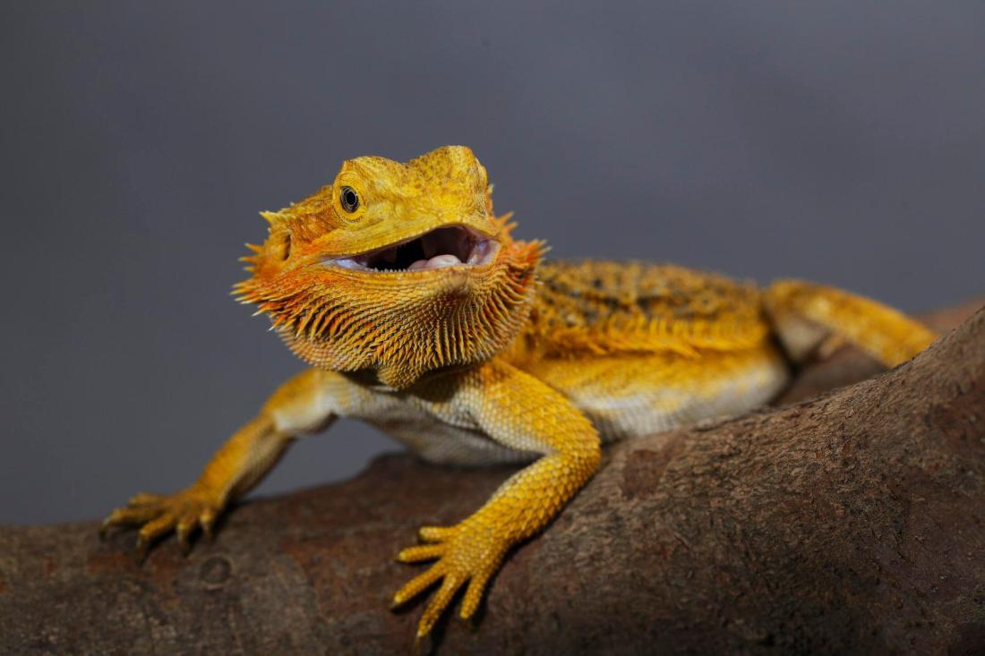 cny-bearded-dragon-wrs-lo-res.jpg