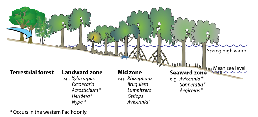 The-three-zones-typical-of-mangrove-habitats-in-the-tropical-Pacific-showing-the